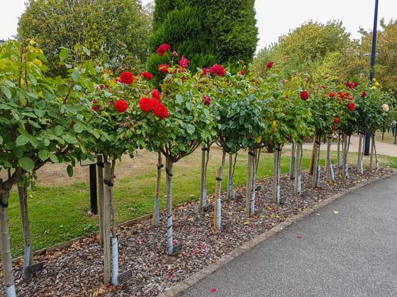 Image of our Memorial Rose Trees